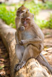 Singes de Macaque sur le branchement Photo stock