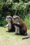Singes de Mona au Grenada photo libre de droits
