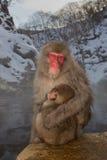 Singes de neige à la source thermale Photographie stock libre de droits