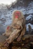 Singes de neige à la source thermale Photo libre de droits