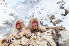 Singes de neige photo stock
