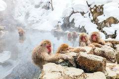 Singes de neige Photos stock