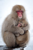 Singes de neige dans Onsen Images stock
