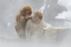 Singes de neige en source thermale Image stock