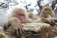 Singes de neige en source thermale Images stock