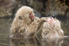 Singes de neige se toilettant en source thermale Images libres de droits