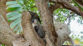 Singes de Vervet en Afrique du Sud image stock