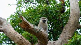 Singes de Vervet en Afrique du Sud photo libre de droits