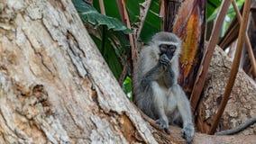 Singes de Vervet en Afrique du Sud images stock
