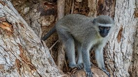 Singes de Vervet en Afrique du Sud photographie stock libre de droits