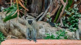 Singes de Vervet en Afrique du Sud photo stock