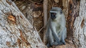 Singes de Vervet en Afrique du Sud photos libres de droits