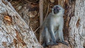 Singes de Vervet en Afrique du Sud image libre de droits