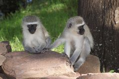 Singes de Vervet retenant des mains Photos stock