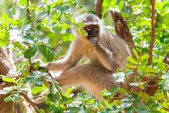 Singes en parc national de Kruger, Afrique du Sud image libre de droits
