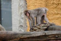 Singes japonais dans une cage Photographie stock libre de droits