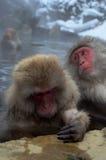 Singes japonais de neige Images stock