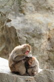 singes japonais sauvages de toilettage à Beppu, Oita Images libres de droits