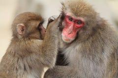 singes japonais sauvages de toilettage à Beppu, Oita Photographie stock