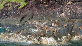 Singes mangeant sur la roche dans la nature sauvage banque de vidéos