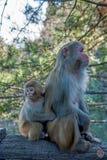 Singes nationaux de Hunan Zhangjiajie Forest Park Huangshizhai Photos libres de droits