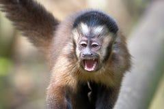 Singes noirs de capucin en Afrique du Sud photo libre de droits