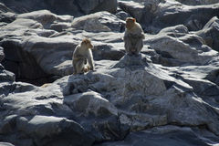 Singes regardant l'un l'autre Photo libre de droits