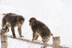 Singes sauvages en hiver Images libres de droits
