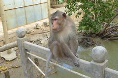 Singes sauvages sur l'île de singe Photo libre de droits