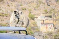 Singes se reposant au palais d'or, Jaipur, Inde photos libres de droits