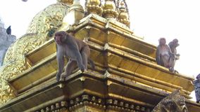 Singes se reposants sur le temple de singe de Swayambhunath. Népal banque de vidéos