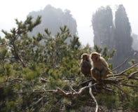 Singes sur des arbres Photo stock