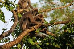Singes sur une branche d'arbre Photographie stock
