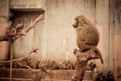 Singes - zoo Madrid photos stock