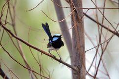 Singing adult male Superb Fairy Wren stock photo
