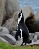 Singing African penguin. Royalty Free Stock Photo
