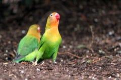Singing agapornis-fischeri bird. Bird agapornis-fischeri singing on the ground next to a friend Stock Photography