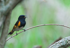 Singing American Redstart. A photograph of a singing colorful male American redstart perched on a nicely curved branch in a spring midwestern forest royalty free stock image
