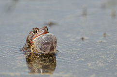Singing american toad. An american toad singing in the water of lake Barrette in ZEC Martin-Valin Quebec, Canada during mating season of 2017 Stock Photo