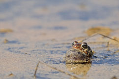 Singing american toad Royalty Free Stock Photography