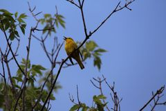 Singing bird American Yellow Warbler Stock Images
