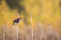 Singing bird in the reeds. A female common reed bunting, Emberiza schoeniclus, sings a song on a reed plume. The colors of Fall are clearly visible on the Royalty Free Stock Photography