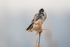 Singing bird in the reeds on a windy day. A common reed bunting Emberiza schoeniclus sings a song on a reed plume Phragmites australis. The reed beds waving due Royalty Free Stock Image