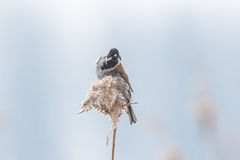 Singing bird in the reeds on a windy day. A common reed bunting Emberiza schoeniclus sings a song on a reed plume Phragmites australis. The reed beds waving due Royalty Free Stock Photography