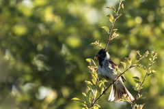 Singing bird in a tree. A common reed bunting Emberiza schoeniclus sings a song in a tree on a sunny evening during Spring season Stock Image