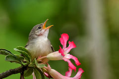 Singing bird. A wild singing bird in the flower Royalty Free Stock Photo