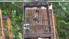 Singing Bird Pycnonotus Jocosus In Cage In Thailand Stock