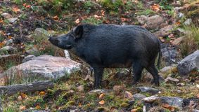 Singing black boar as lovely as it could be. In Omega Park, Québec, Canada Stock Photos