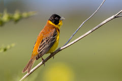 Singing Black headed Bunting Royalty Free Stock Images