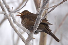 Singing blackbird Stock Photography
